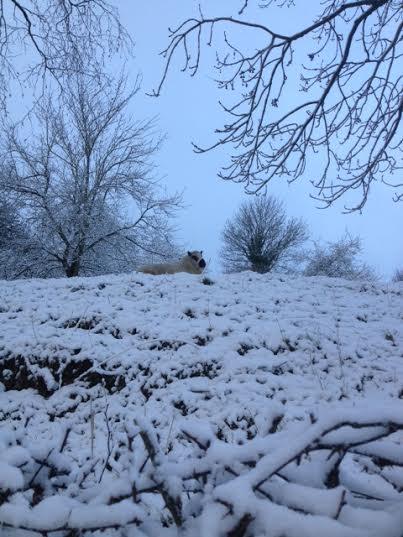 schaapinsneeuw