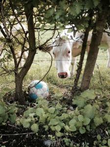 koe met bal