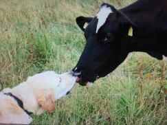 boy en koe