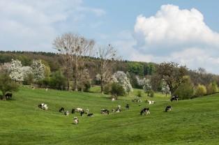 Nederland-Heuvelland-Vijlen-193*309 -koeien in de weide met Vijlenerbosch bij Camerig - © Fotografie George Burggraaff